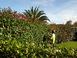 Hedge Trimming Service for Tauranga and the BOP